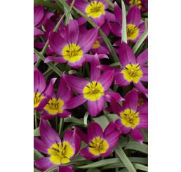 Tulipa ´Pulchella Eastern Star´ / Tulipán, bal. 5 ks, 6/+