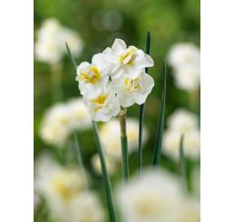 Narcis ´Cheerfulness´, bal. 5 ks, 12/14