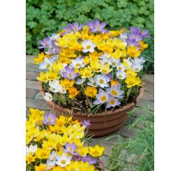 Crocus botanicus mix / Směs botan. šafránů (krokusů), bal. 100 ks, 5/7