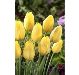 Tulipa ´Big Smile´ / Tulipán, bal. 5 ks, 11/12
