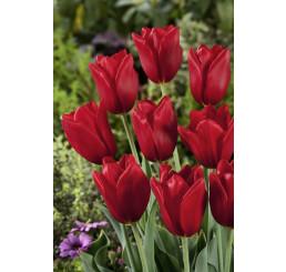 Tulipa ´Kingsblood´ / Tulipán, bal. 5 ks, 11/12