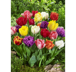 Tulipa double mix / Směs plnokvětých tulipánů, bal. 20 ks, 11/12