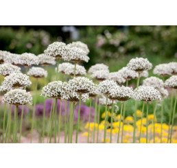 Allium ´Nigrum (Multibulb.)´ / Okrasný česnek černý, bal. 3 ks, 10/12