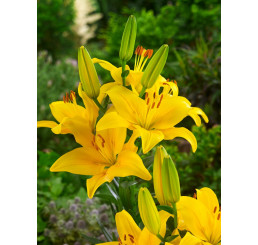 Lilium ´Yellow County´ / Lilie, bal. 2 ks, 16/18