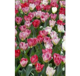 Tulipa ´Flaming Purissima´ / Tulipán, bal. 5 ks, 11/12