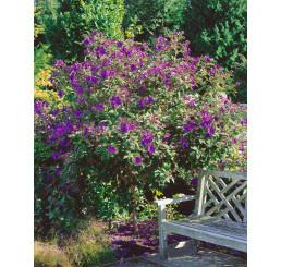 Tibouchina urvileana / Fialkový stromek / Tibouchína, 20-30 cm, K9