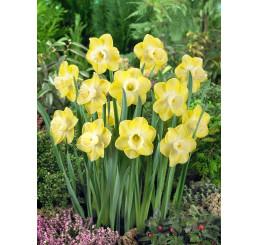 Narcis ´Avalon´ / Narcis, bal. 5 ks, 12/14