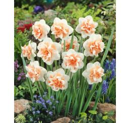 Narcis ´Delnashaugh´ / Narcis, bal. 5 ks, 12/14