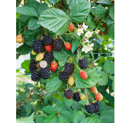Rubus fruticosus ´Navaho´ / Beztrnná ostružina, 30-40 cm, K11