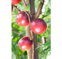 Prunus persica ´Venus´ / Nektarinka, GF 677