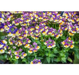 Nemesia x fruticans Mareto® Bicolor Magenta / Nemesia, bal. 6 ks, 6xK7