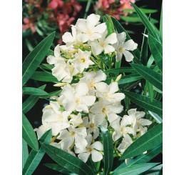 Nerium oleander / Oleandr obecný bílý, 20 cm, K9