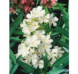 Nerium oleander ´Double White´ / Oleandr obecný plnokvětý bílý, 20 cm, K9