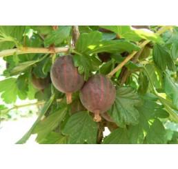 Ribes grossularia ´Niesluchowski´ / Angrešt červený rezistentní, stromek, VK, 2-3 výh.