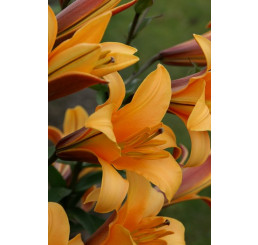 Lilium ´Orange Planet´ / Lilie, bal. 2 ks, 16/18