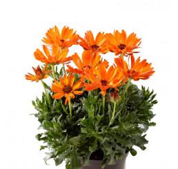 Osteospermum ´Sunny Cilia´ / Osteospermum, bal. 6 ks sadbovačů