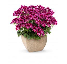 Pelargonium crispum Angelseyes ´Cassis´ / Pelargonie anglická fialová, bal. 6 ks sadbovačů