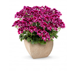 Pelargonium crispum Angelseyes ´Cassis´ / Pelargonie anglická fialová, K7