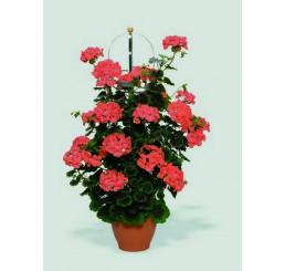 Pelargonium PAC® ´Antik Orange´ / Pelargonie rychle rostoucí, bal. 6 ks sadbovač.