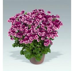 Pelargonium crispum Angelseyes ´Burgundy Red´ / Pelargonie anglická fialová, bal. 6 ks sadbovačů
