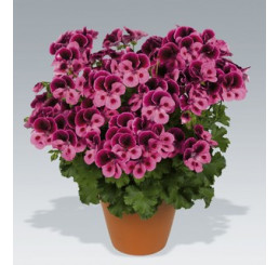 Pelargonium Candy Flowers® ´Pink with Eye´ / Pelargonie růžová, bal. 6 ks sadbovač.