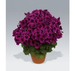 Pelargonium Candy Flowers® ´Violet´ / Pelargonie, bal. 6 ks sadbovač.