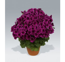 Pelargonium Candy Flowers® ´Violet´ / Pelargonie, bal. 3 ks, 3x K7