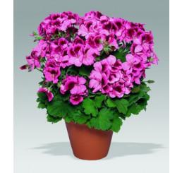 Pelargonium grandiflorum ´Aristo Apricot´ / Pelargonie velkokvětá růžová, bal. 6 ks sadbovač.