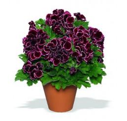 Pelargonium grandiflorum ´Aristo Beauty´ / Pelargonie velkokvětá červená, bal. 6 ks sadbovač.
