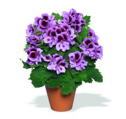 Pelargonium grandiflorum ´Aristo Lavender´ / Pelargonie velkokvětá fialová, bal. 6 ks sadbovačů