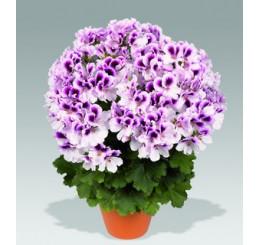 Pelargonium grandiflorum PAC® ´Aristo Petticoat´ / Muškát velkokvětý, bal. 6 ks sadbovač.