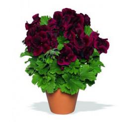 Pelargonium grandiflorum ´Aristo Schoko´ / Pelargonie velkokvětá červená, bal. 6 ks sadbovač.