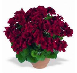 Pelargonium grandiflorum ´Aristo Velvet Red´ / Pelargonie velkokvětá, bal. 6 ks sadbovač.