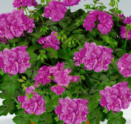 Pelargonium pelt. PAC® ´Amelit´ / Muškát převislý, bal. 6 ks sadbovačů