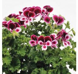 Pelargonium duft ´pac®Angels Perfume´ / Muškát vonný, bal. 6 ks sadbovačů