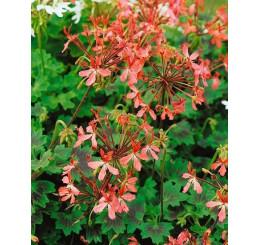 Pelargonium pelt. PAC® ´Apricot´ / Muškát převislý, bal. 6 ks sadbovač.