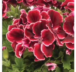 Pelargonium grandiflorum ´pac®Aristo® Red Beauty´  / Muškát velkokvětý, K7