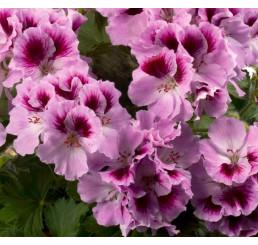 Pelargonium grandiflorum ´pac®Aristo® Orchid´ / Muškát velkokvětý, bal. 6 ks sadbovačů