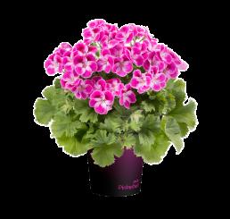 Pelargonium grandiflorum pac® Pinkerbell® / Pelargonie velkokvětá , bal. 6 ks sadbovačů