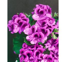 Pelargonium grandiflorum ´Clarion® ´Violet´/ Pelargonie, bal. 6 ks sadbovačů