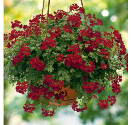 Pelargonium PAC® ´Happy Face Dark Red´ / Muškát, bal. 6 ks sadbovačů