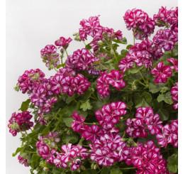 Pelargonium peltatum Mexica® Mary / Muškát převislý, bal. 6 ks sadbovačů