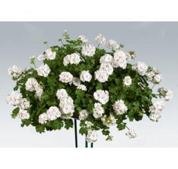 Pelargonium pelt. ´pac®White Pearl´ / Muškát, bal. 6 ks, 6xK7