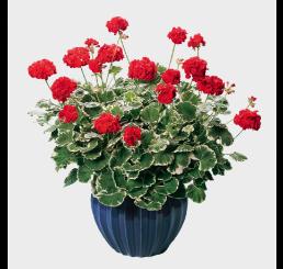 Pelargonium pac® Pelgardini® ´Wilhelm Langguth´ / Muškát , K7