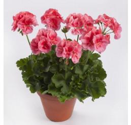 Pelargonium zonale ´pac® TWOinONE® ´Peach´  / Muškát vzpřímený , bal. 6 ks sadbovačů