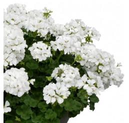 Pelargonium zonale ´pac®TWOinONE® White / Muškát vzpřímený , bal. 6 ks sadbovačů
