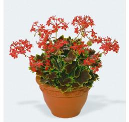 Pelargonium pac® Pelgardini® Vancouver Centennial / Muškát , K7