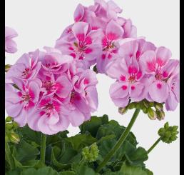 Pelargonium zonale pac®´Icecrystal´ / Muškát , bal. 6 ks sadbovačů