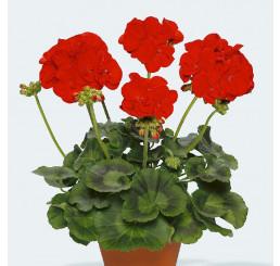 Pelargonium zonale pac® ´Victoria´ / Muškát , bal. 6 ks sadbovačů
