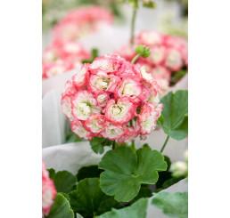 Pelargonium zonale Grandeur®DECO ´Appleblossom´ / Pelargonie růžičková, K7